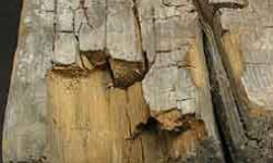 Dry Rot Cuboidal Cracking